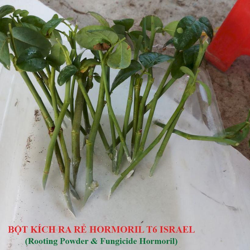 bot-kich-ra-re-hormoril-t6-israel-giam-canh-cay-hoa-hong